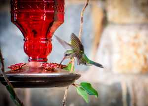 Hummingbird , green and blue colors, flying around its feeder in the garden of a house.