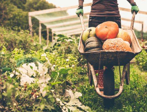 varieties of pumpkins for your home garden