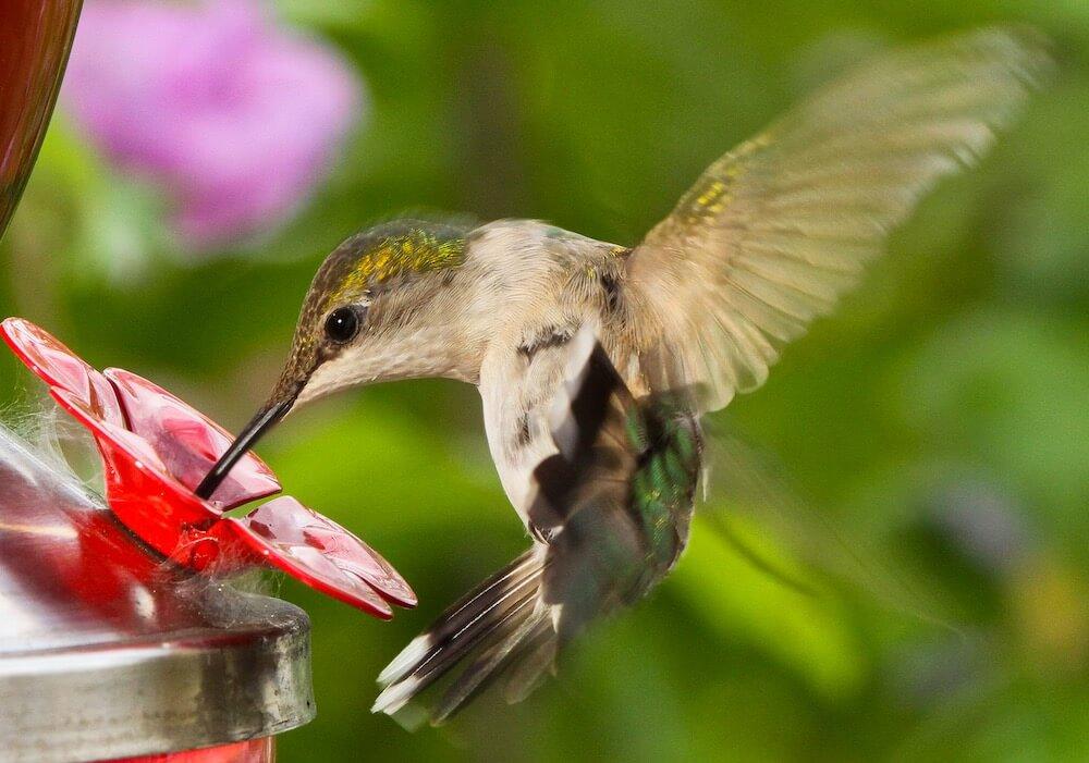 hummingbird feeding at feeder