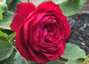 Kellogg Rose thursday