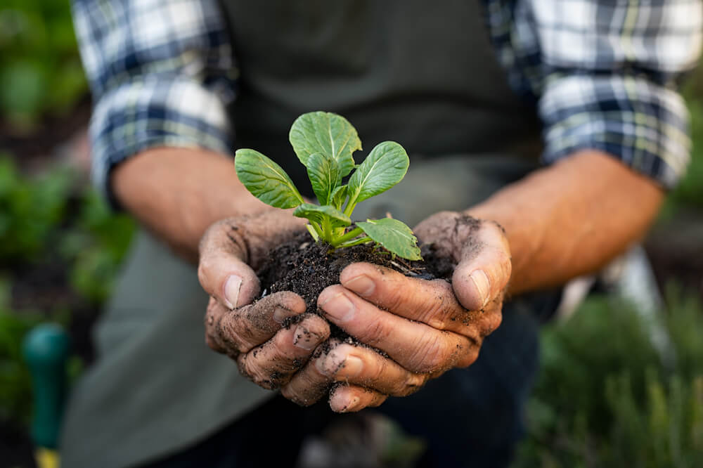 Senior man hands holding fresh green plant. Wrinkled hands holding green small plant, new life and growth concept. Seed and planting concept. (Senior man hands holding fresh green plant. Wrinkled hands holding green small plant, new life and growth.