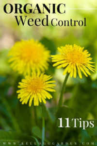 """Yellow dandelion with text, """"Organic weed control, 11 tips"""""""