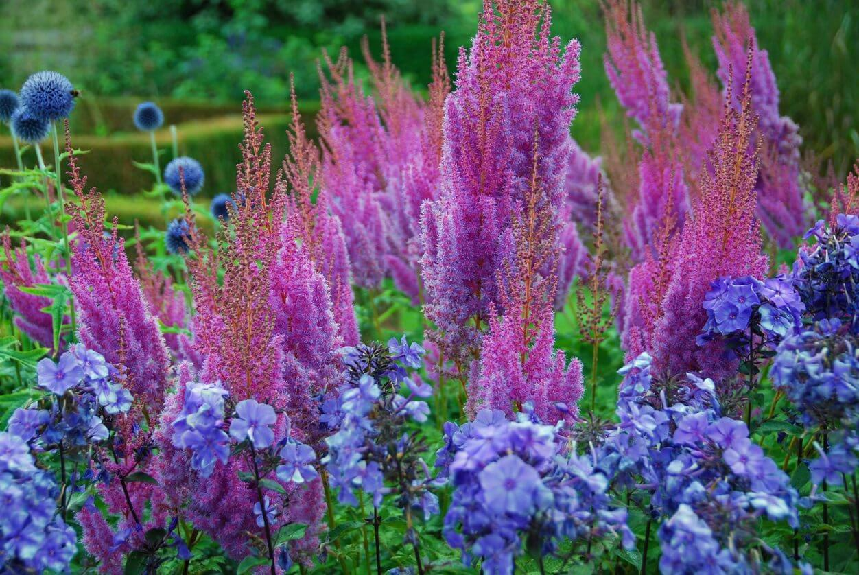 Purple Perennial Shade PLant