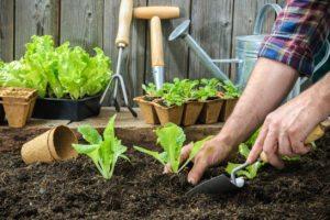 Farmer planting young seedlings