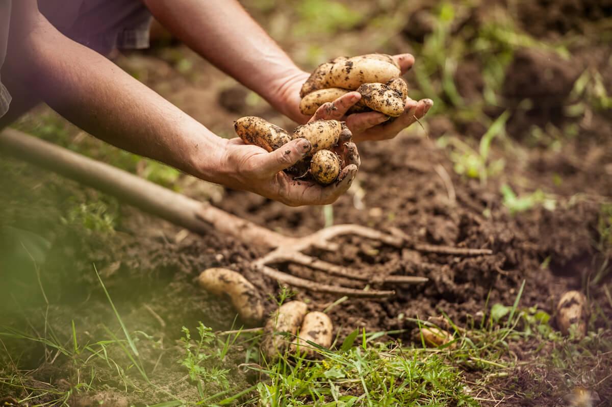 Gardener harvesting potatoes using a pitchfork