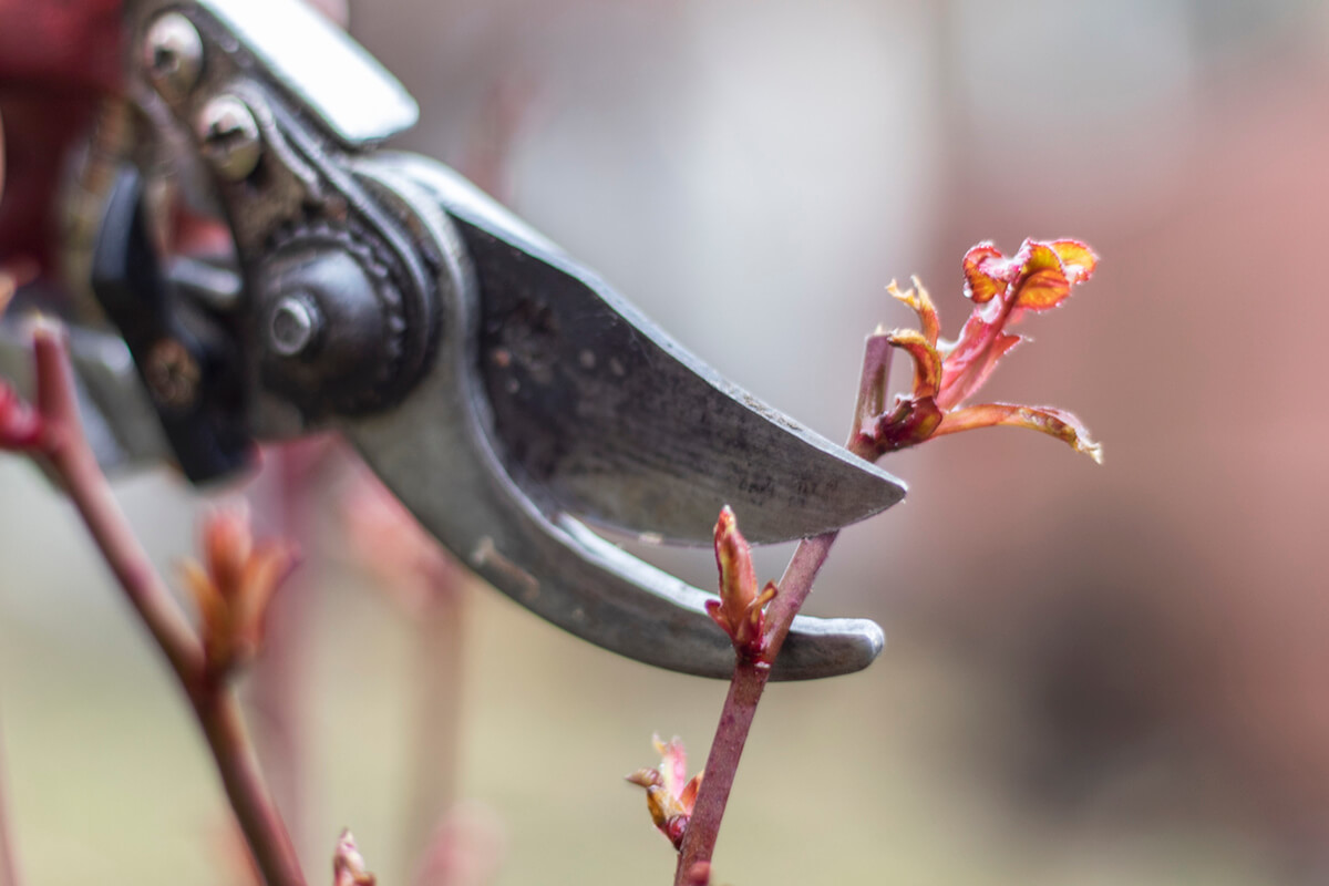 Pruning a rose bush using metal shears.