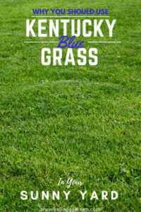 """Green grass with text, """"Why you should use Kentucky blue grass in your sunny yard"""""""