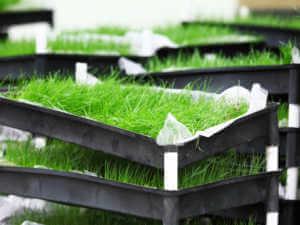 burmuda grass