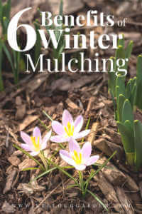 "Purple flower growing in a bed of mulch with text,""6 benefits of winter mulching"""