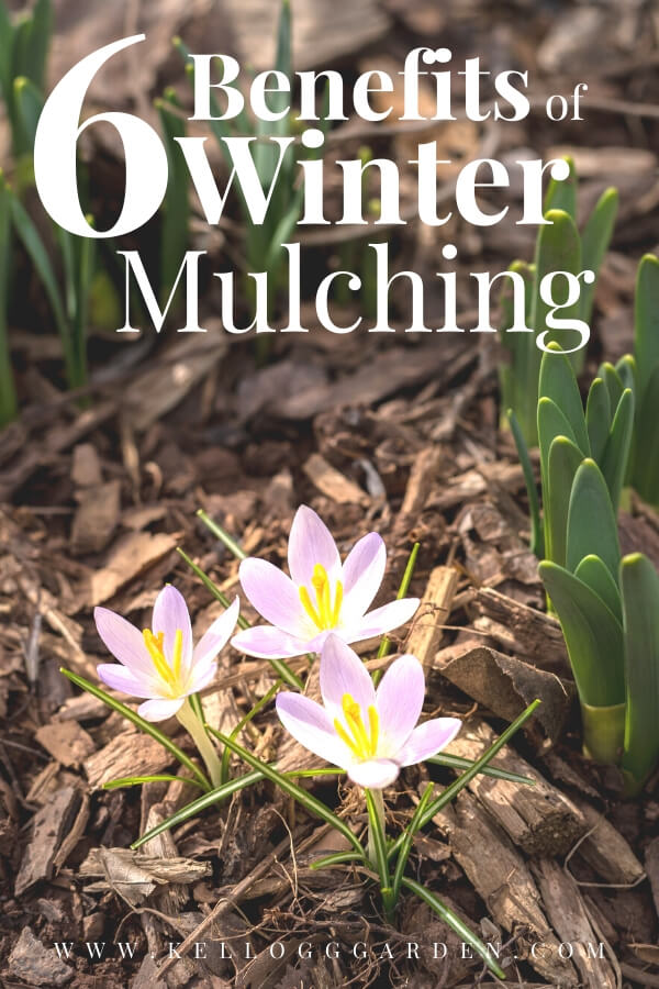 """Purple flower growing in a bed of mulch with text,""""6 benefits of winter mulching"""""""