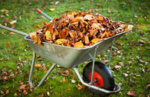 Wheel barrel filled with fall leaves for the garden.