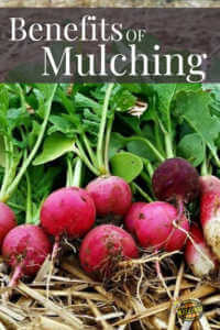 """Freshing harvested radishes with text, """"Benefits of mulching"""""""