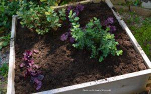 Top Dressing Blueberries and Acid Loving Plants