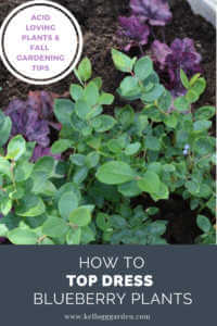 """Blueberry plant with text, """"Acid loving planting and fall gardening. How to top dress blueberry plants"""""""