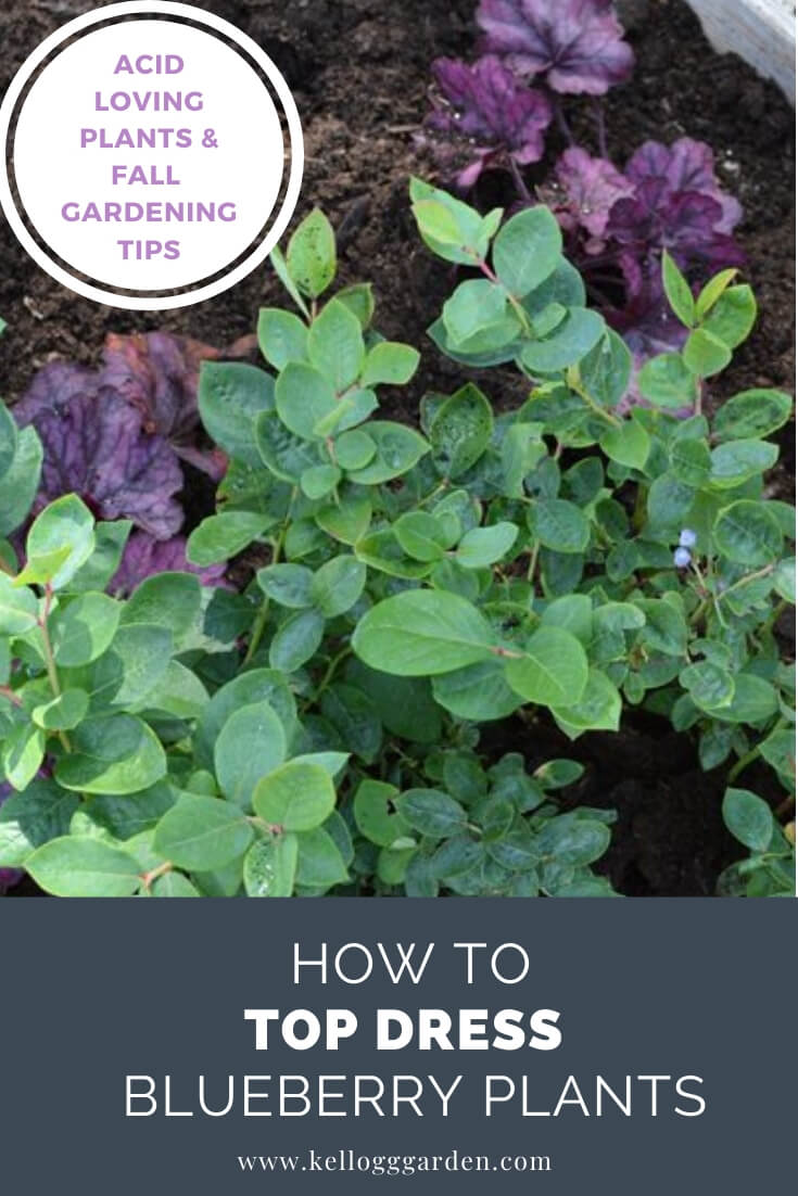 "Blueberry plant with text, ""Acid loving planting and fall gardening. How to top dress blueberry plants"""