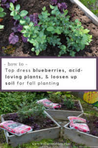 """Blueberry plants in raised beds with text, """"how to op dress blueberries, acid-loving plants, and loosen up soil for fall planting"""""""
