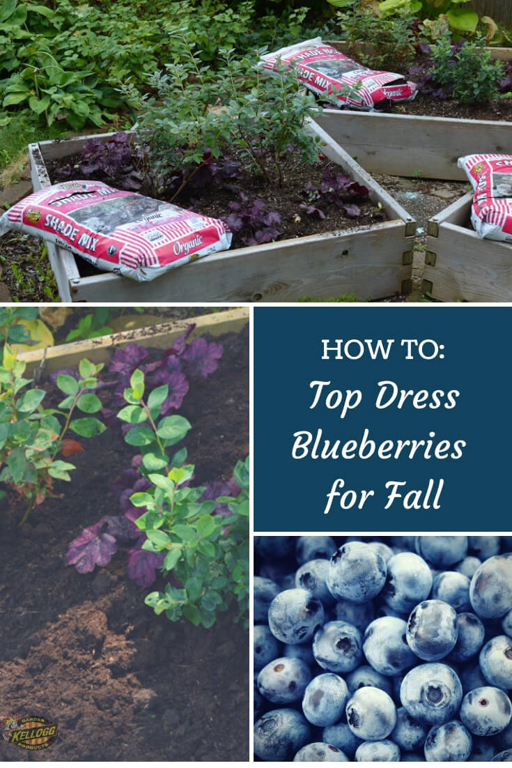 "Collage of blueberry planters and soil with text, ""How to Top dress blueberries for fall"""