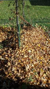 Mulching with Fall Leaves