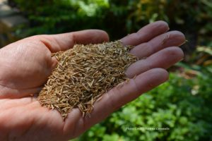 Grass seed for your lawn
