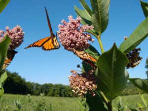 pollinator milkweed