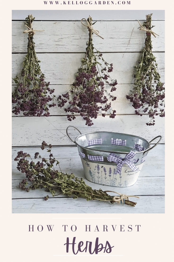 Herbs dry hanging on wall. Metal bucket rested on floor.