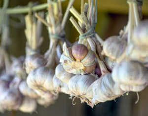 garlic hanging to cure