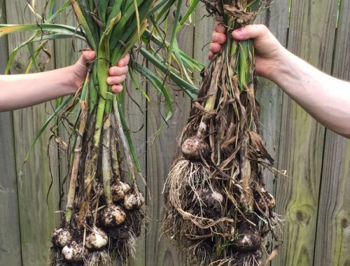 How to Grow and Preserve Garlic