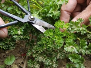 How to Harvest Herbs for Winter