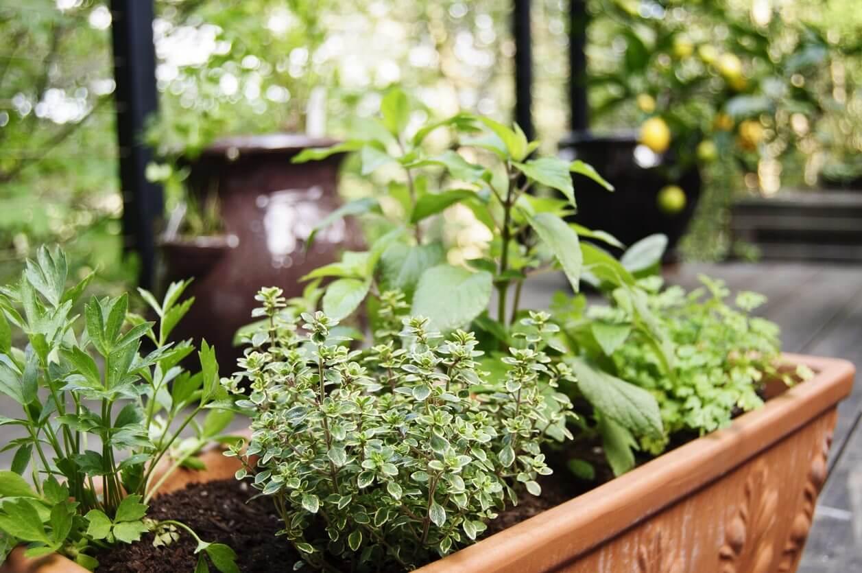 Tips on How to Harvest Basil & Other Herbs | Kellogg Garden Organics™