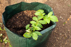 Potato plant growing in a grow bag