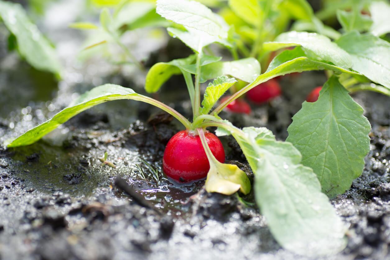 Red radish in wet soil