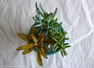 Four secrets to Healthy Succulents