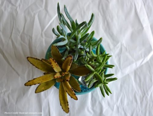Four secrets to Healthy Succulents