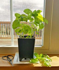 Basil Growing on Windowsill