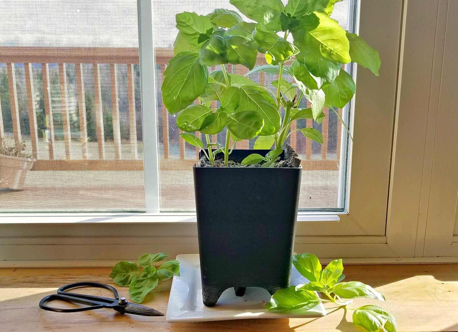 Herbs like growing indoors