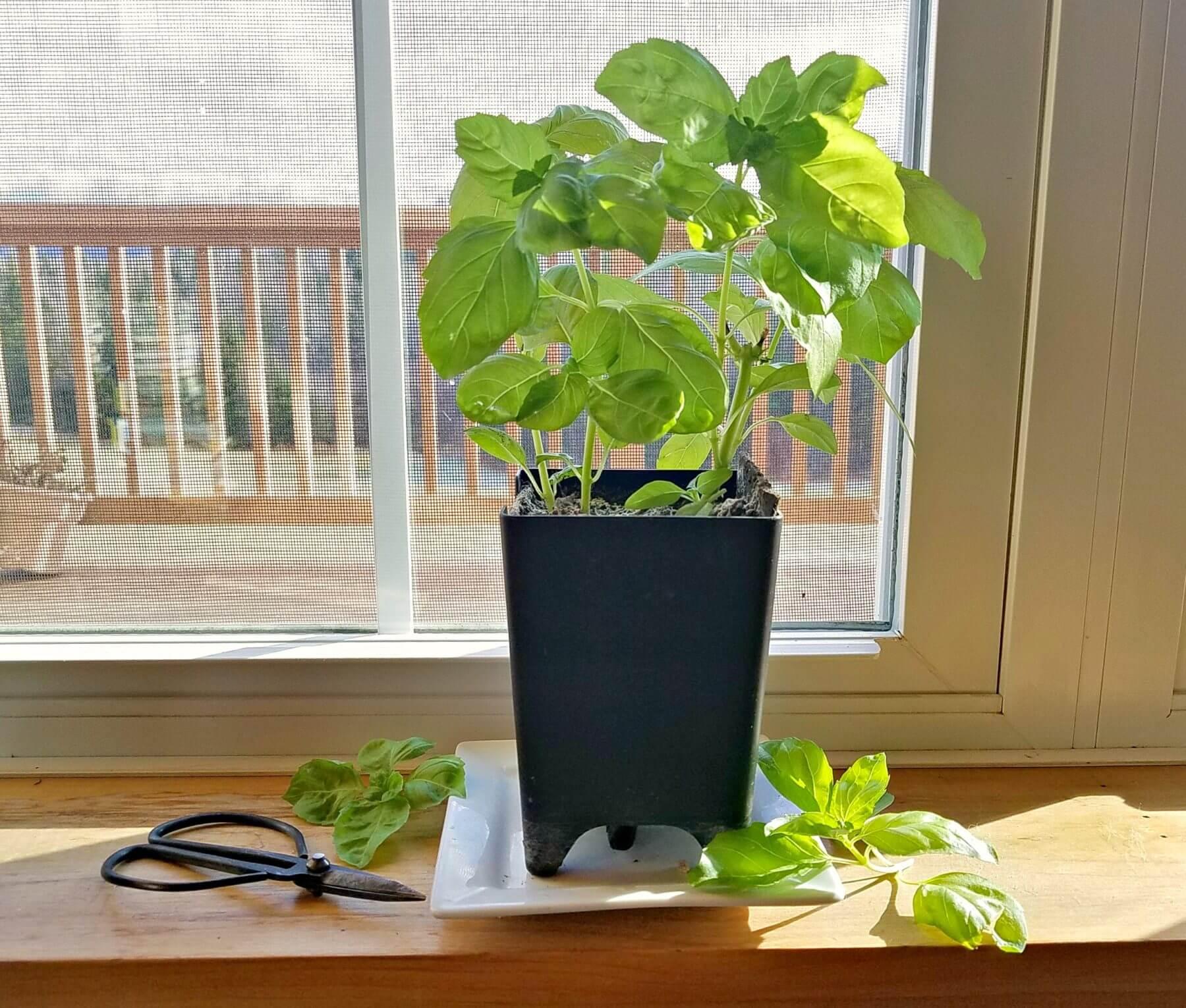 Growing Herbs Indoors Kellogg Garden Products
