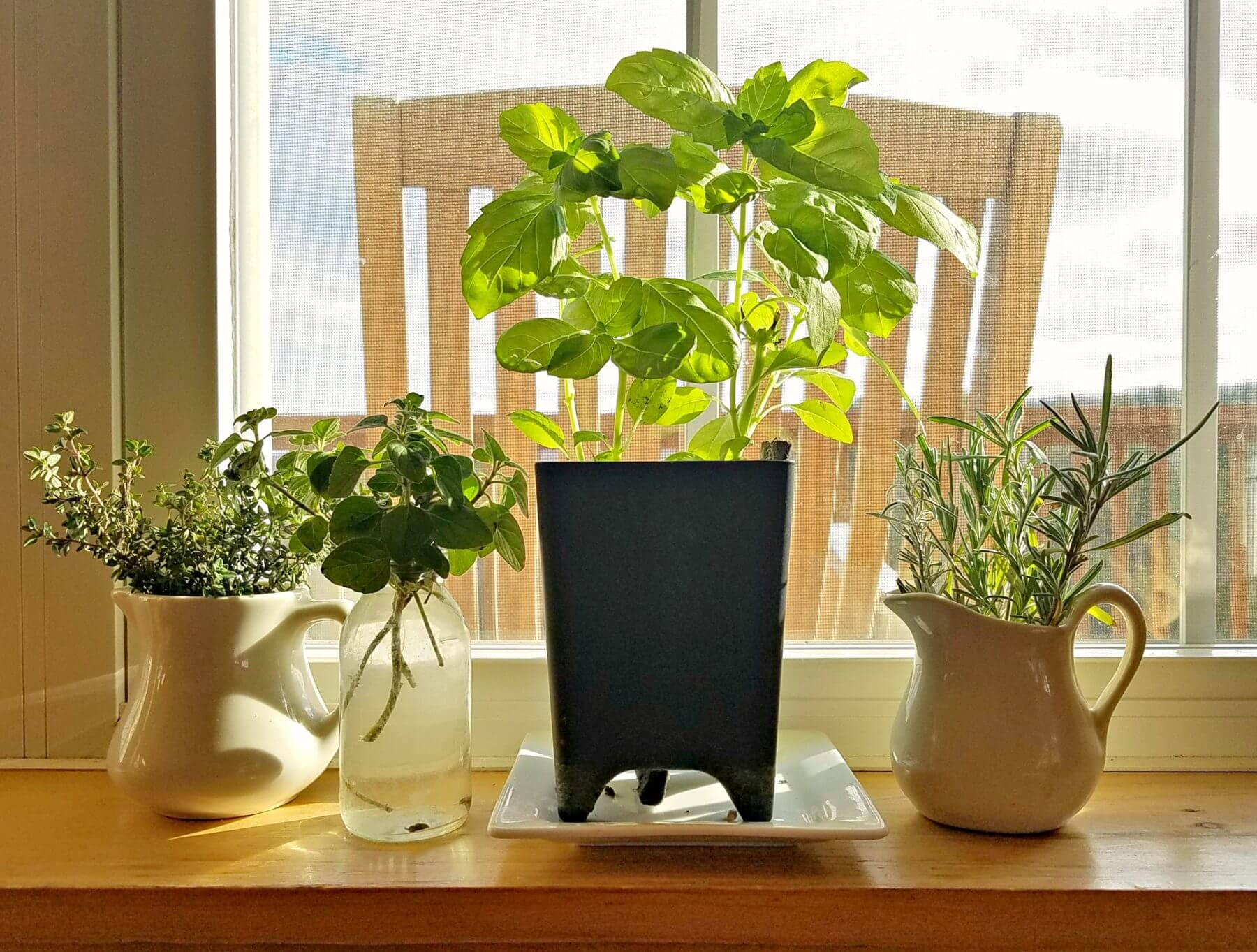 Herbs growing on windowsill