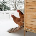 How to Keep Chickens Warm in the Winter