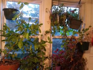 Windowsills are a spot for indoor plants