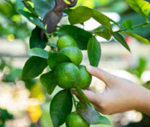 Pruning a lime or citrus tree.
