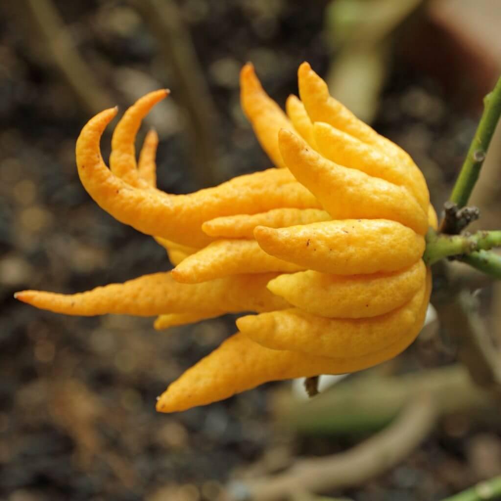 buddhas-hand-lemon