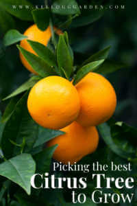 """Close up of oranges growing on a tree with text, """"Picking the best citrus tree to grow"""""""