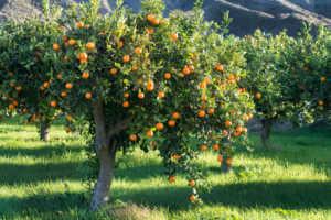 Orange tree growing in orchard.