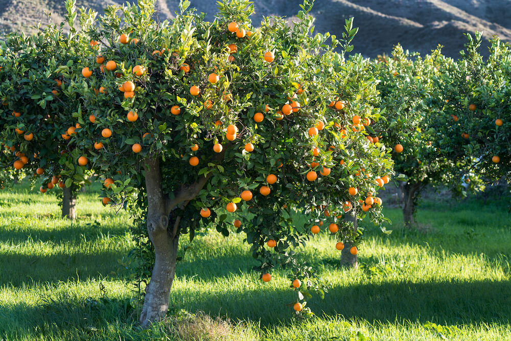Orange tree growing in orchard.
