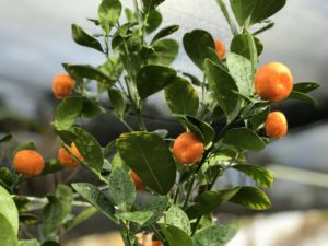 Grow Citrus in Containers