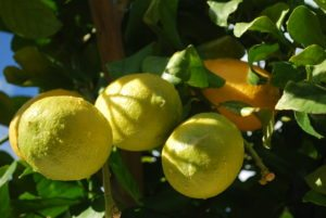 Grow Lemons in Containers