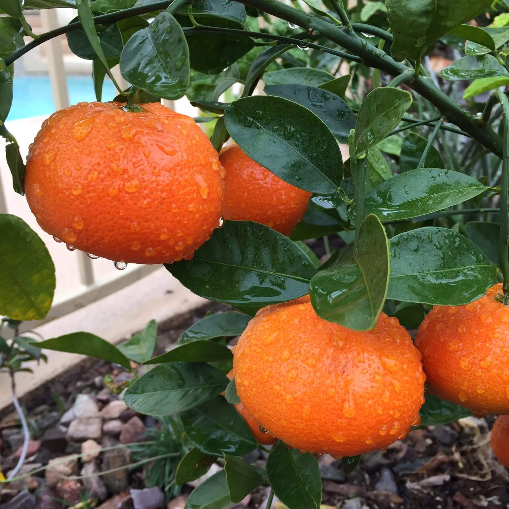 Growing Citrus In Containers