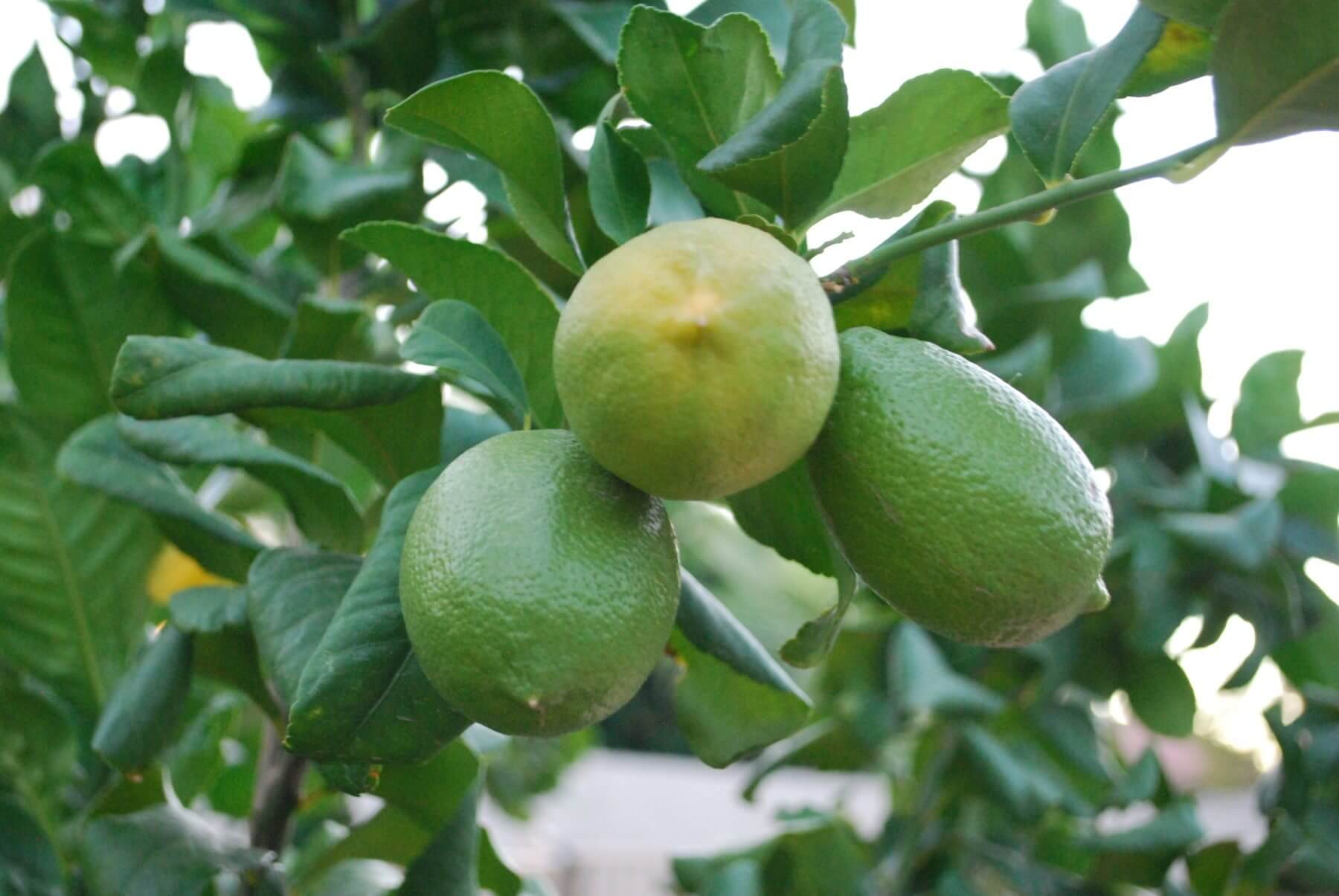 Growing Limes in Containers