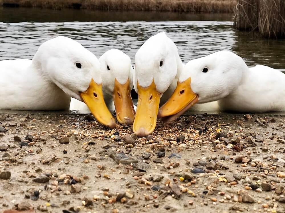 four white ducks eating