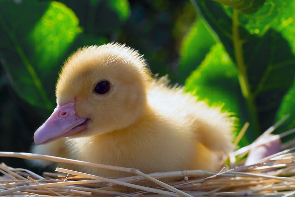 yellow duckling in a nest